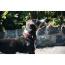Kentucky Dogwear Dog Collar Bordeaux