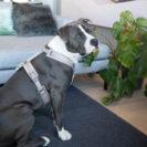 Active Dog Harness Velvet Beige