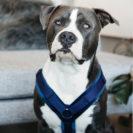 Active Dog Harness Velvet Navy
