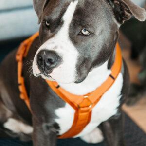 Active Dog Harness Velvet Orange